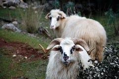 白羊星座在农场的好公司中 免版税库存图片