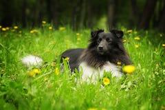 黑白美丽的sheltie的狗 图库摄影