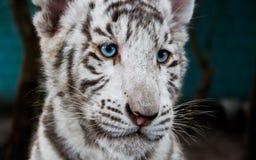 白老虎婴孩在立陶宛 免版税图库摄影