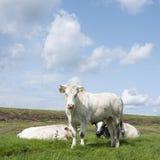 白肉母牛和两头大小牛在堤堰附近的草甸在叫声 库存图片