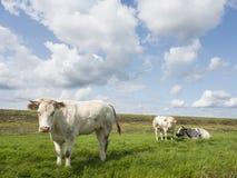 白肉母牛和两头大小牛在堤堰附近的草甸在叫声 免版税库存图片
