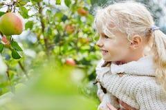 白肤金发的小女孩在苹果收割期 库存照片