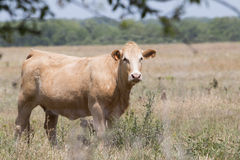 白肤金发的小牝牛在牧场地 免版税库存照片