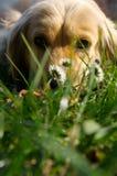 白肤金发的狗 免版税库存图片