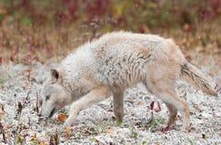 白肤金发的狼在早期的秋天降雪嗅左 库存照片