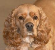白肤金发的猎犬 库存照片