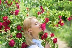 白肤金发的秀丽嗅到的玫瑰 开花的玫瑰色玫瑰色灌木妇女 俏丽的妇女气味在夏天庭院里上升了花 免版税库存照片