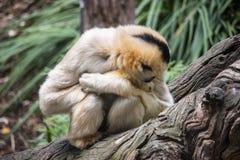 白肤金发的长臂猿保持温暖在日志 免版税库存照片