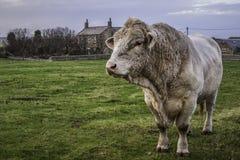 白肤金发的d'Aquitaine公牛 库存图片