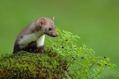 白胸貂、市场foina和越桔有清楚的绿色背景 榉貂,森林动物细节画象  小predat 库存照片