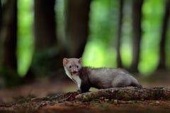 白胸貂,森林动物细节画象  小掠食性动物在自然栖所 野生生物场面,德国 与貂的树 库存照片