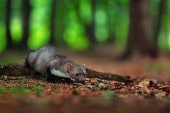 白胸貂,森林动物细节画象  小掠食性动物在自然栖所 野生生物场面,法国 与貂的树 S 图库摄影