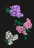 白色、玫瑰和紫色Lila的例证 库存照片