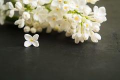 白色丁香分支与一朵单独花的与拷贝空间 免版税图库摄影