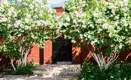 白色丁香的灌木在乡间别墅的 免版税库存图片