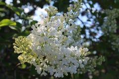 白色丁香美丽的花  库存照片