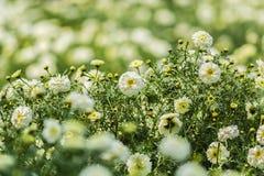 白色万寿菊花的美好的领域 免版税库存图片