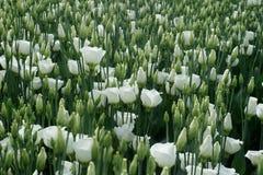白色上色了在温室床上的lisianthus花 免版税图库摄影