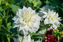 白色与芽的色的大丽花 免版税库存图片