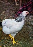 白色与被举的爪子的一只有斑点的母鸡 免版税库存照片