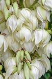 白色丝兰filamentosa灌木开花,其他名字包括亚当斯针 免版税库存照片