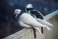 白色两个的恋人和在招呼日落和太阳的阳台的黑鸠 图库摄影
