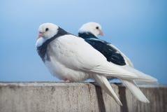 白色两个的恋人和在招呼日落和太阳的阳台的黑鸠 库存照片