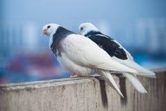 白色两个的恋人和在招呼日落和太阳的阳台的黑鸠 免版税库存图片