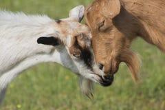白色两只美丽的山羊一张接近的画象红色和 免版税库存图片