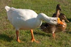 白色中国鹅 免版税库存图片