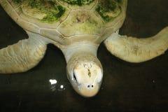 白色乌龟 库存照片
