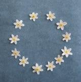 白色五叶银莲花在牛仔裤蓝色背景开花 库存照片