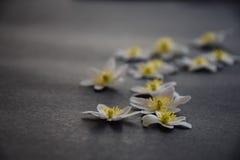白色五叶银莲花在牛仔裤蓝色背景开花 免版税库存照片