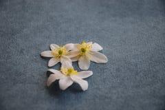 白色五叶银莲花在牛仔裤蓝色背景开花 免版税图库摄影