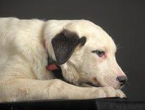 白色交通事故多发地段小狗 免版税库存照片