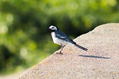 白色令科之鸟调查距离 图库摄影