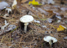 白色伞菌-不要吃我! 库存图片