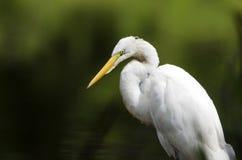 白色伟大的白鹭长腿的涉水鸟关闭  库存图片
