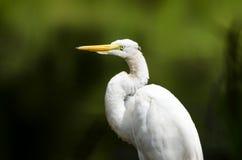 白色伟大的白鹭长腿的涉水鸟关闭  免版税库存照片