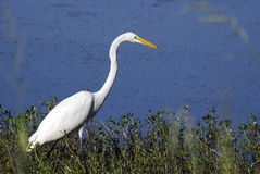 白色伟大的白鹭长腿的涉水鸟 免版税库存照片