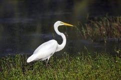 白色伟大的白鹭长腿的涉水鸟 免版税库存图片