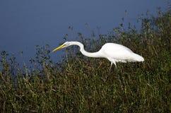 白色伟大的白鹭长腿的涉水鸟 图库摄影