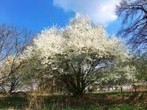 白色佐仓,美丽的花,春天花,卢森堡,欧洲 库存照片