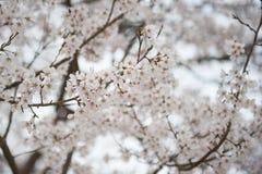 白色佐仓在日本 图库摄影