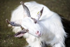 白色供以座位的山羊凝视固定的注视 图库摄影