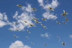 白色光秃目的美冠鹦鹉 库存照片