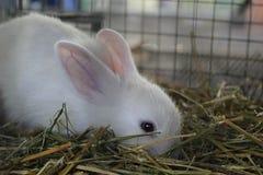 白色兔子吃草 库存图片