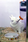 白色兔子喝从饮用的瓶的水 免版税库存照片