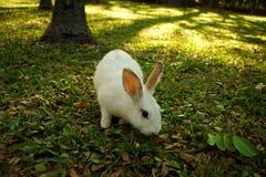 白色兔子在森林里走 免版税库存图片