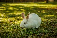 白色兔子在森林里走 免版税库存照片